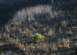 coyotebrush.jpg